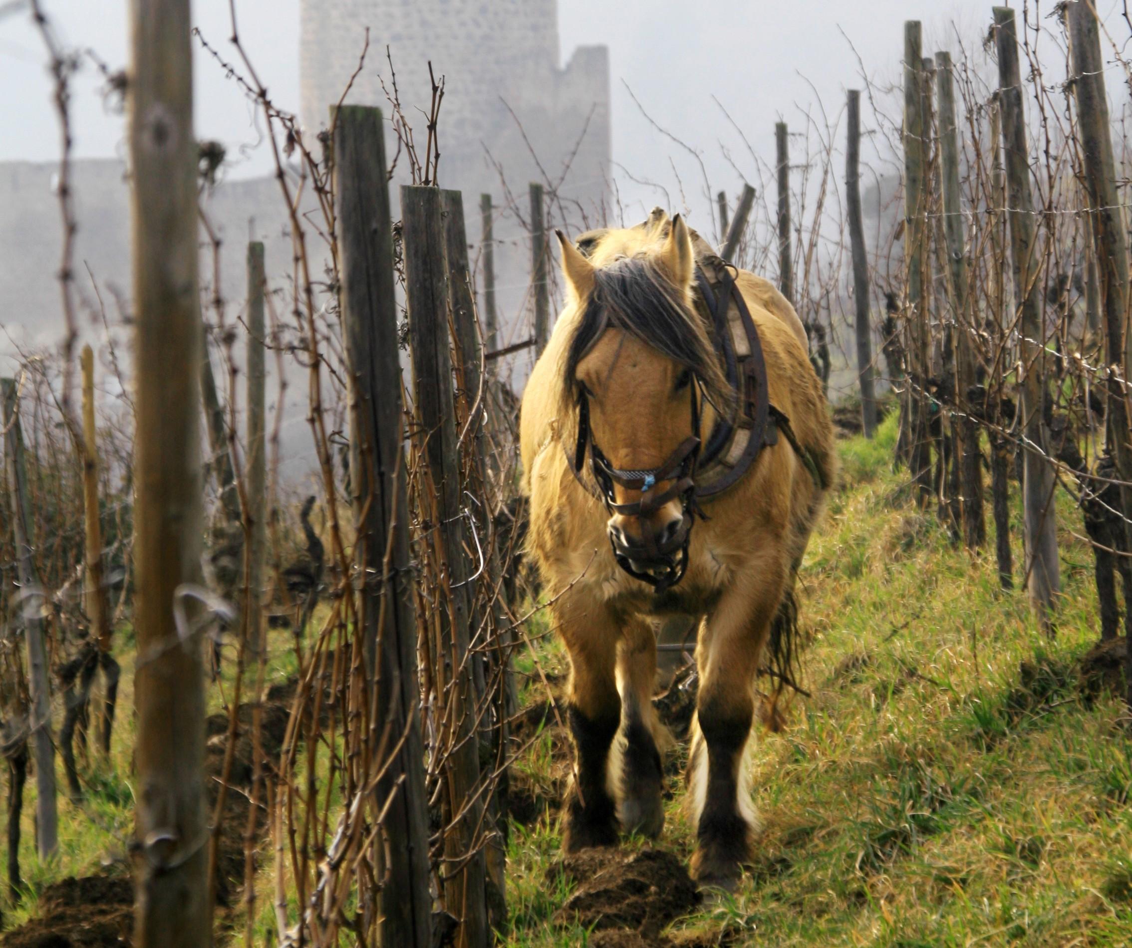 Elsass Wein : Weinbergarbeit im Einklang der Natur